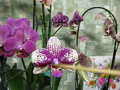 Как долго цветут мои фаленопсисы