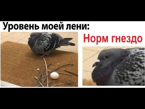 Лютые приколы Самый ленивый голубь