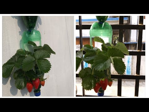 How to grow strawberry in plastic bottle/ Strawberry Tour