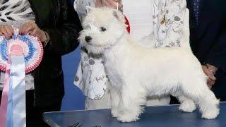 Manchester Championship Dog Show  2016 - Best Puppy in Show