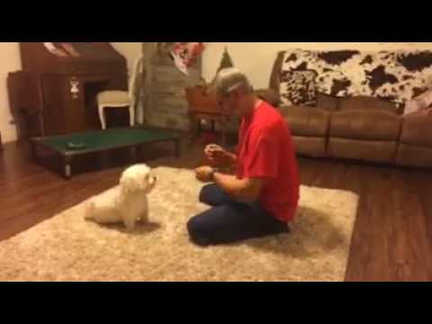 "Little Dogs Need Training Too ""Havanese"" Super Star Puppy Dog Jake"