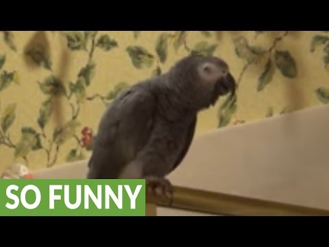 Einstein the Parrot is a dancing fool!