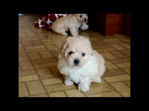 Bich Poo Puppies For Sale Sadie Fisher