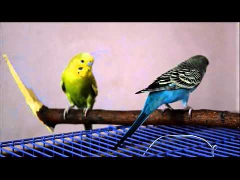 how-to-care-for-budgie-birds