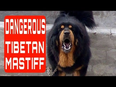 tibetan mastiff dog punjab india || tibetan mastiff attack and angry | +919417730301