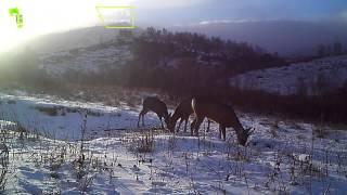 ID375/Тигирекский заповедник/Алтайский край/Косули