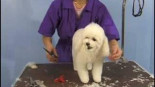 Poodle Teddy Bear Clip  / Pet Grooming Studio Academy