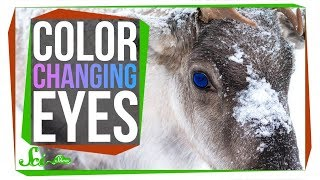 The Unique Reason Reindeer Change Their Eye Color