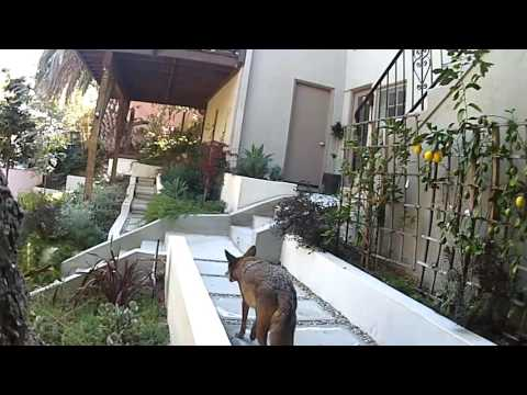 Vegetarian Coyotes in Hollywood
