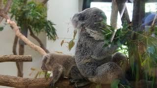 埼玉県こども動物自然公園のコアラの親子クインとシャインです。お母さ...