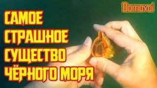 ЛОВЛЯ РАПАНОВ под водой на Черном море. Венозная Рапана