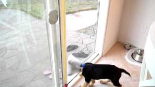 mojo the German Shepherd potty training belltraining.MOV