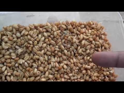 How To Soft Food For Birds | What Is Sprouts | What Food Can Budgies Eat (Urdu/Hindi)