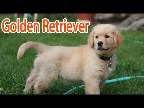 golden-retriever-breed