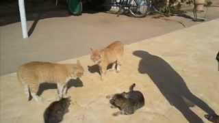 Пение египетских котов