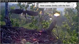 Smitty Scores His Own Breakfast Fish - July 5, 2020 - NCTC Bald Eagles