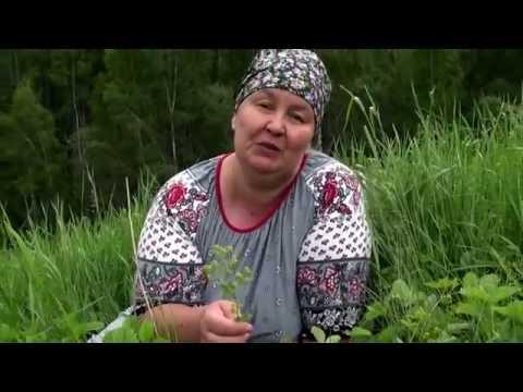 Манжетка обыкновенная : лекарственное растение, применение
