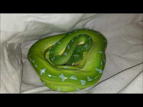 Unboxing Green Tree Python Snake -  Sorong