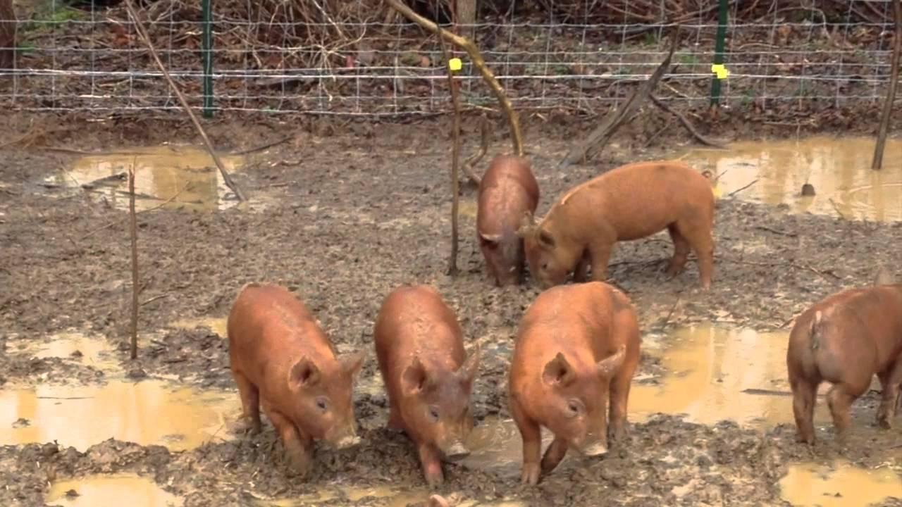 Tamworth Piglets At 6 Weeks Old