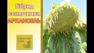 Подсолнечник Аркансель 🌻, описание гибрида 🌻 - семена в Украине