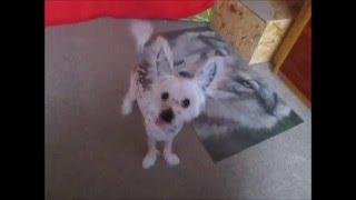 Chinese crested puppy TRICKS