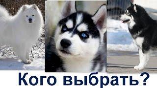 Самоед хаски маламут  - кото выбрать?  кто лучше для вас - хаски маламут или самоед