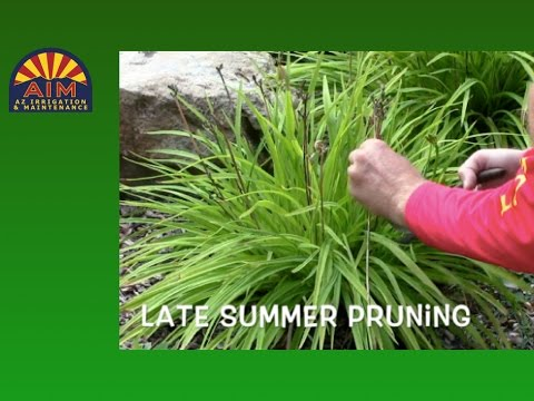 Pruning Day Lilies