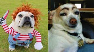 Funny Dog Memes & Best Funny Dogs Meme Videos Compilation #32