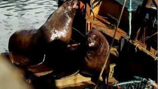 Steller Sea Lions Sneaking Up On a Deck Load of Pollock
