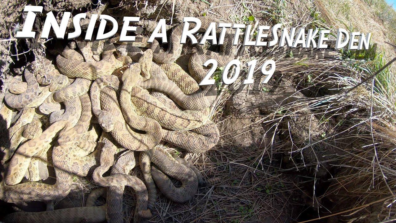 Inside a Rattlesnake Den 4K