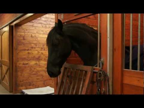 Silly friesian horses