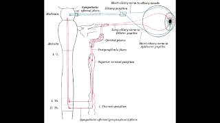 Pupillary Nerve Control - Miosis(constriction) & Mydriasis(Dilation)