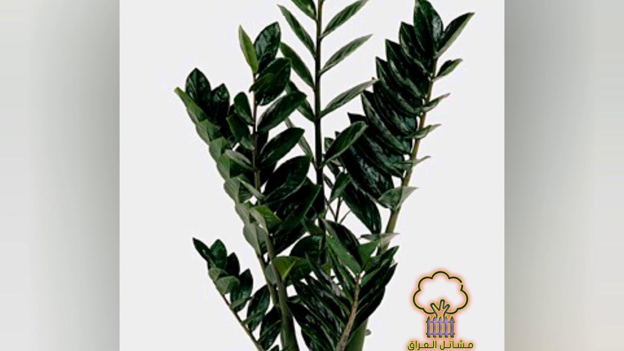 Zamioculcas Plant نبات زاميا زاميفوليا زاميوكولكاس Youtube