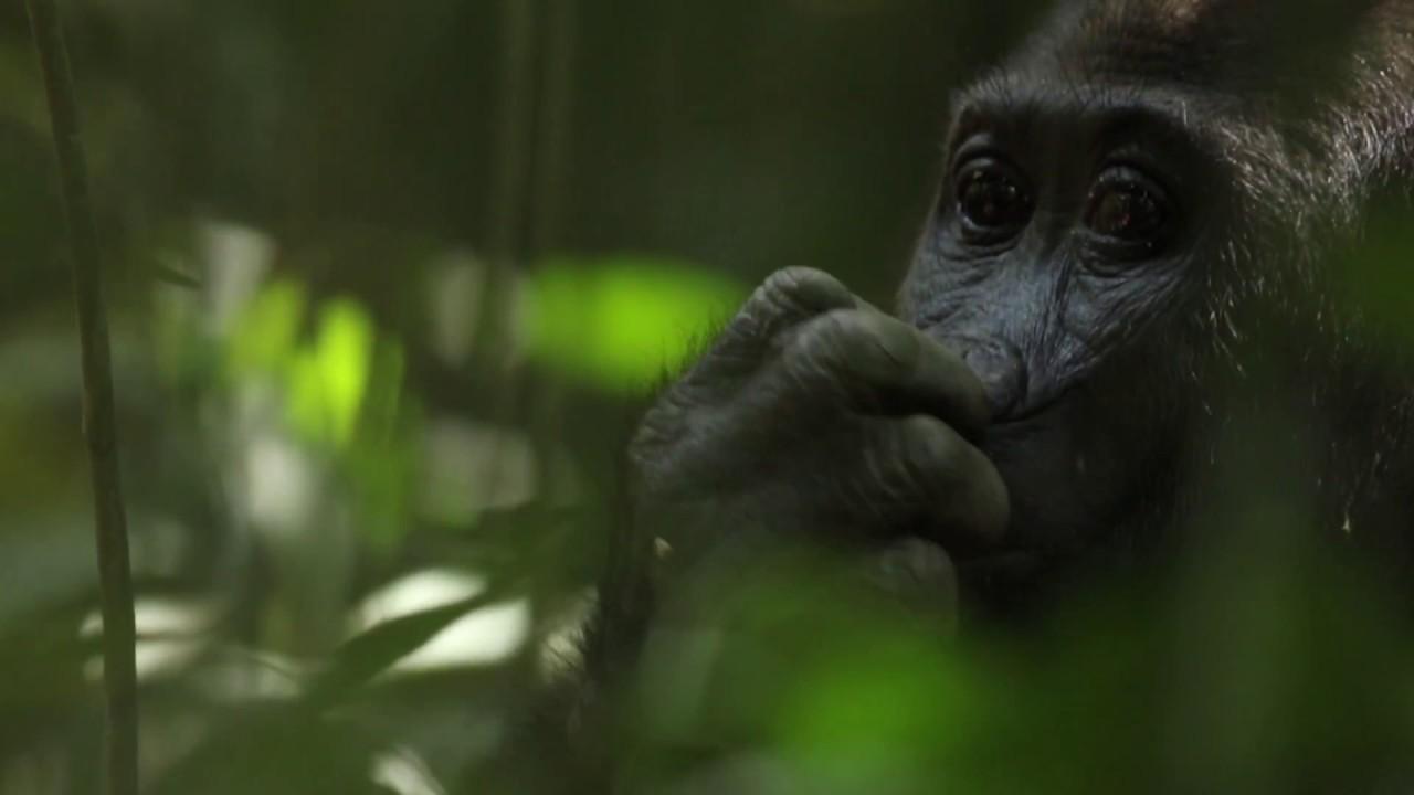 'Dzanga Sangha - Paradis en péril' - Trailer