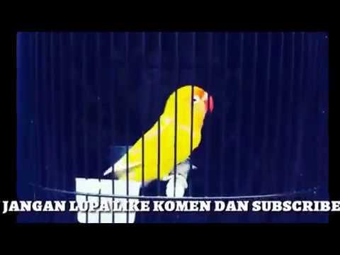 Suara LoveBird Ngekek Panjang Terbukti Ampuh Pemancing Love Bird Ikut Ngekek