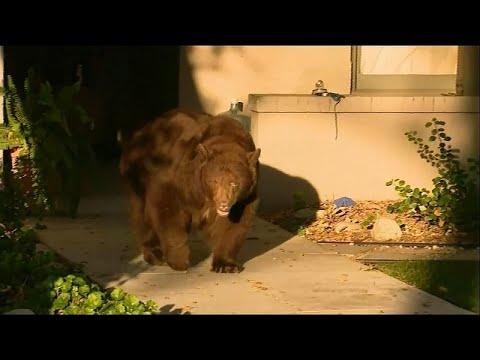 Медведь в Калифорнии