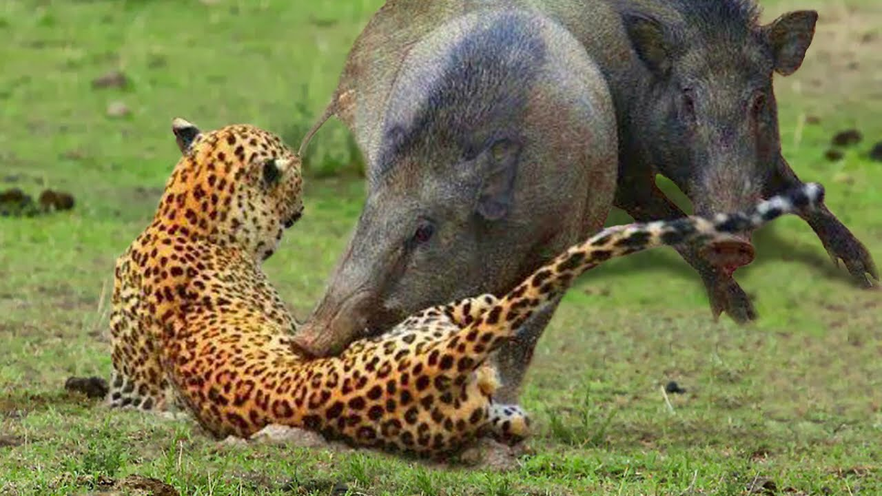 Leopard vs Warthog: Struggle For Life | Warthog Tossing Leopard To The Air To Save Baby