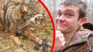 I Trapped A Coyote! *vicious*