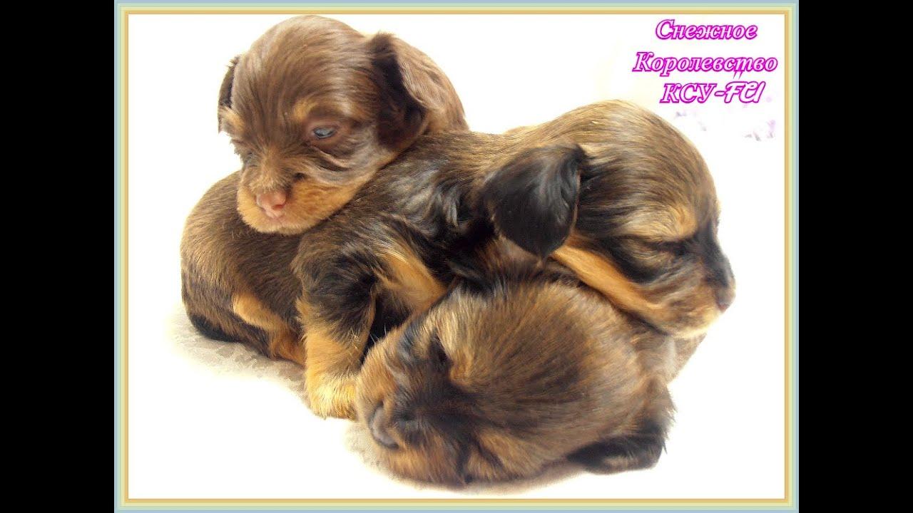Собаки и щенки породы той-терьер минск. На доске объявлений olx легко и быстро можно купить. Щенок русского той терьера длинношерстный.